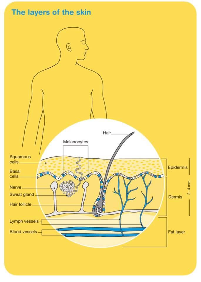Understanding Skin
